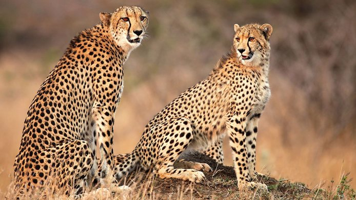 Destination Afrika - Cheetah